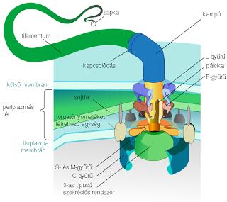 bakteriális ostor