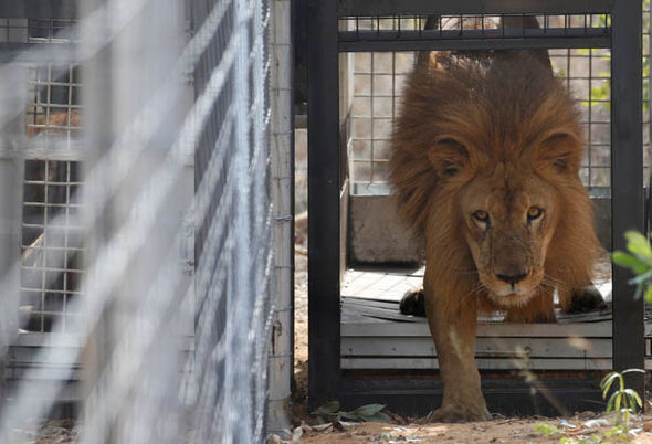 A kép forrása: http://www.express.co.uk/news/nature/666161/rescued-pride-circus-lions-begin-new-life-South-Africa-animals